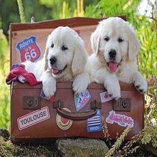 Rompecabezas-100-piezas-cachorros-viajeros-Ravensburger