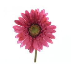 Flor-gerbara-en-tallo-color-futsia-50-Cm--Flor-gerbara-en-tallo-color-futsia-50-Cm-1-17102